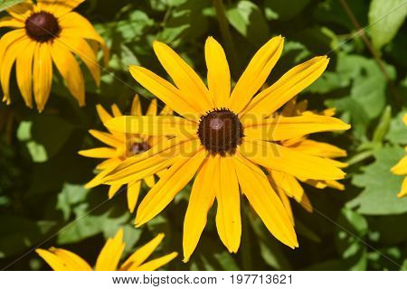 Precious Black Eyed Susan Daisies in Nature