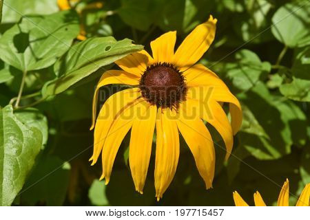 Beautiful Yellow Black Eyed Susan Blooming in Nature