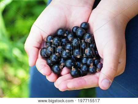 Handful of berries of black currant in palms