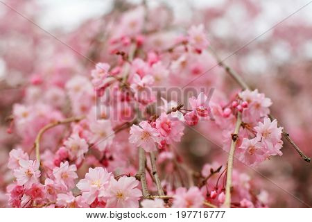Pink Cherry Blossoms Or Sakura