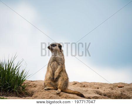 Portrait of a meerkat sitting on the lookout