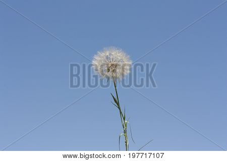Dandelion. Dandelion fluff. Dandelion tranquil background. Clear blue sky photo