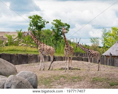 Smal family of three giraffes groups together