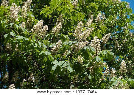 Branches Of Aesculus Hippocastanum In Full Bloom