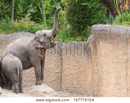 Elphant honks with big open mouth and trunk lifted high