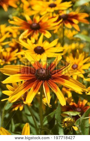 Lovely Black Eyed Susans Blossoming In A Garden