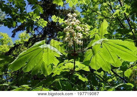 Large Palmate Leaves And Panicle Of Horse Chestnut