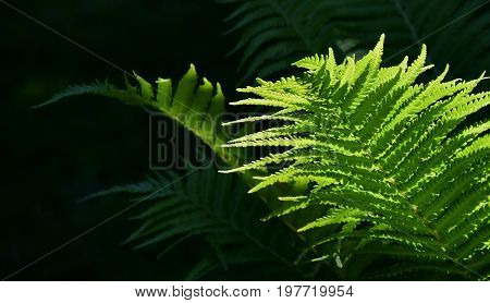 Close up of Fern in Spring sunlight
