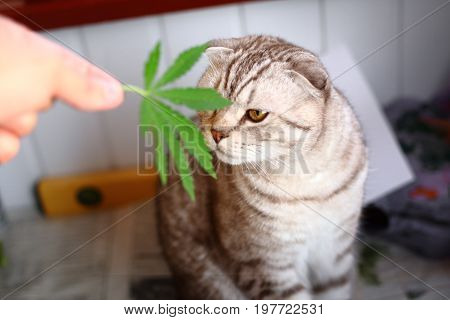 The Cat Sniffs A Leaf Of Marijuana, Canapis, Hashish, Hash, Drugs, Weed. Siamese Folded Cat Marijuan