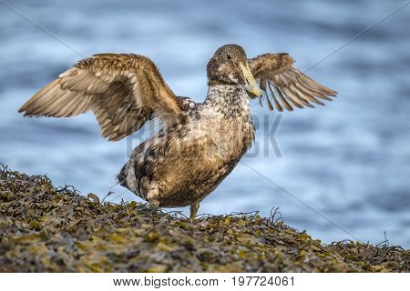 Eider Duck, Female, On A Seaweed Covered Rock In Front Of The Sea, Preening Itself, Close Up