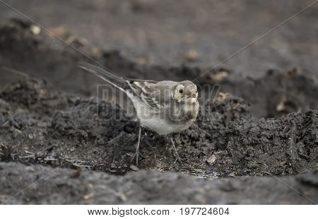 Pied Wagtail Juvenile On A Compost Heap, Close Up