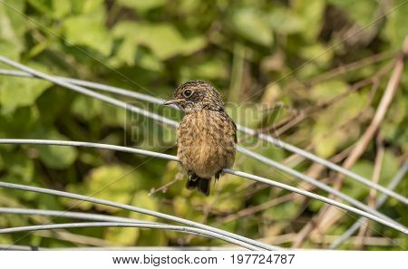 Stonechat, Juvenile, Perched On A Piece Of Wire, Close Up