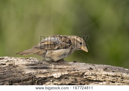 Sparrow, Juvenile, Perched On A Large Branch, Close Up