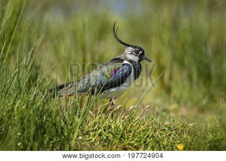 Lapwing Standing On The Grass, Close Up