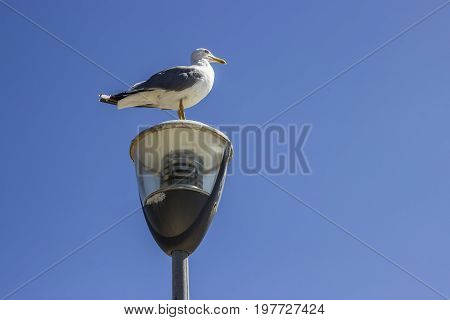 Seagull Standing On The Street Light Pole