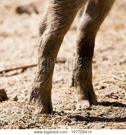 Legs with hoofs in a wild boar on the ground.