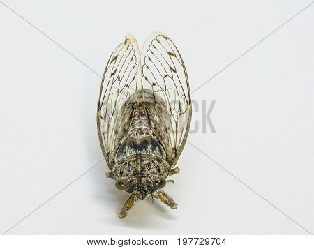 Image of cicada insect isolated on white background