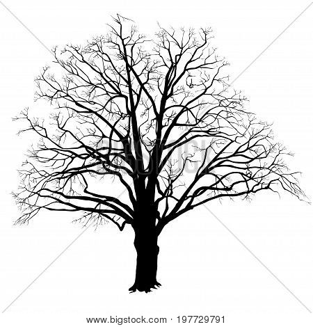 Silhouette of a tree of an oak (Quercus) with leaves the black-and-white vector image
