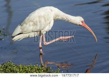 Ibis lifts leg out of water. An American white ibis preens itself in the pond in Deland Florida.