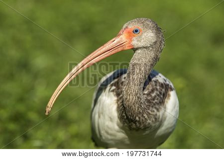 Long beak of a young white ibis. A close up of a juvenile American white ibis and its long beak in Deland Florida.