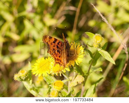 A Small Comma Butterfly Resting Upon A Yellow Flower Outside