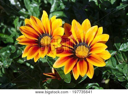 orange and yellow gazania flower garden vibrant sun light