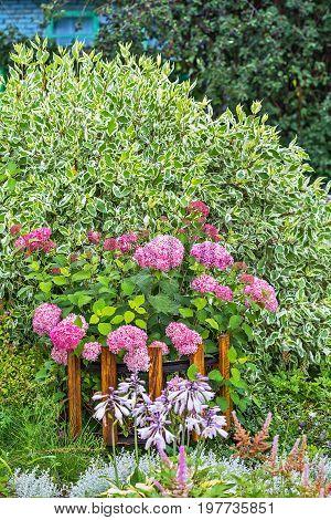 Pink hydrangea tree varieties