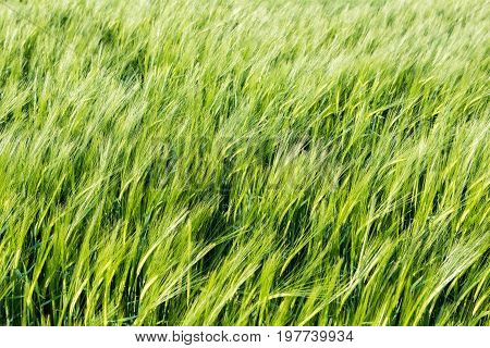 Field of young green barley in the wind before sunset abstract background