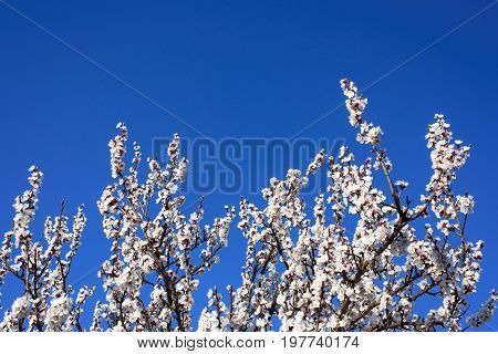 Blooming apricot tree on a blue sky flowers design beautiful spring background