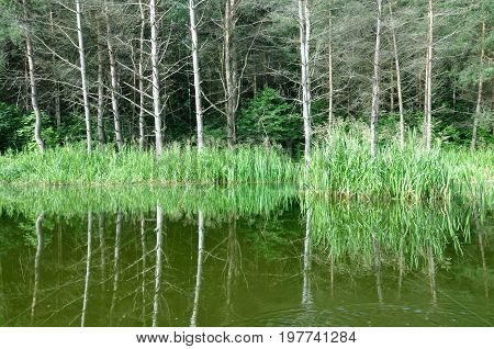 Flooded beach with dry pine forest and green grass reflected in the river. River Neman, Belarus.