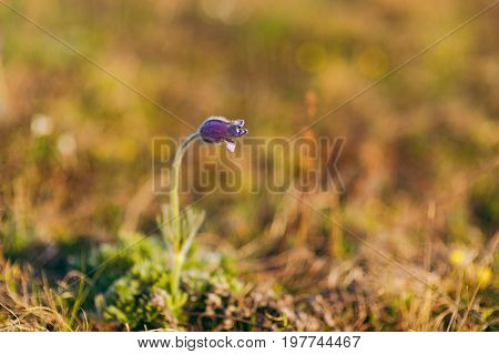 Little Purple Pasque-flower.s Grows Alone In The Grass