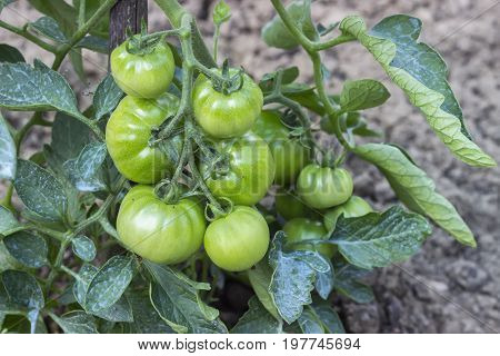 Close Of Green Tomato Growing In The Garden