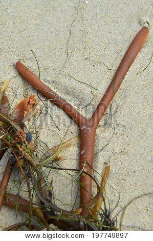 letter Y shaped sea kelp on sand