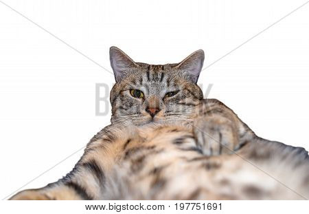 Grey tabby cat taking a selfie lying on his back looking at the camera isolated on white