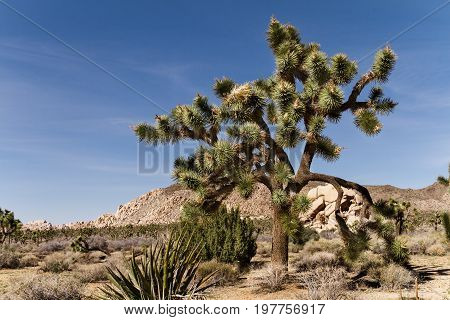Landscape of Mojave desert and Joshua tree in California with blue sky Joshua Tree National Park USA