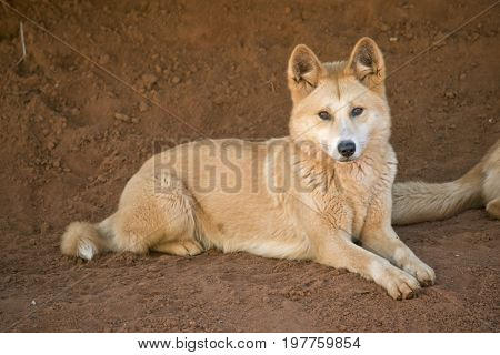 the golden dingo is resting in the dirt