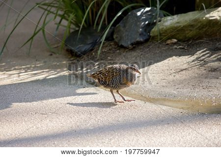 the buff banded rail is walking on a path