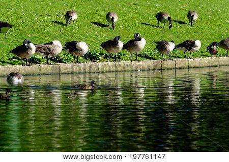 Row of ducks sunbathing at pond side at Grove Park, Birmingham