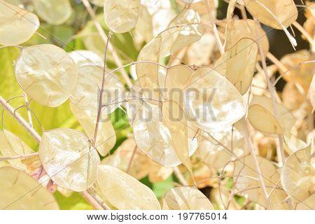 Close Up Of Dried Lunaria Annua Fruit
