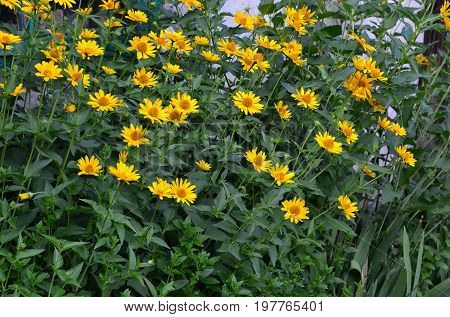 Flowers of a yellow daisy grow in a spontaneous flower bed.
