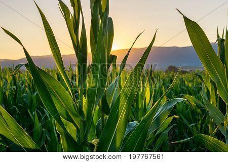 Sunset View Through A Corn Plantation