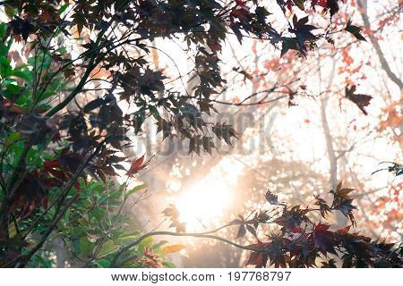 Sun shining through autumn leaves in a woodland in fall at New Zealand NZ