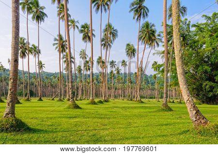 Manicured lawn and rows of coconut palm trees - Espiritu Santo Vanuatu