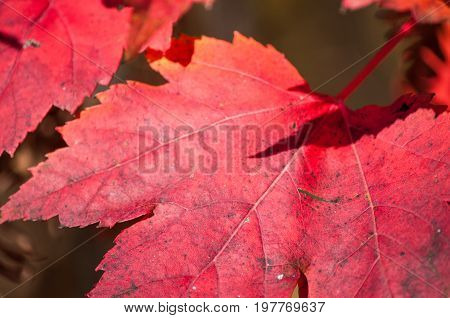 Red maple leaves closeup. Fall season natural background