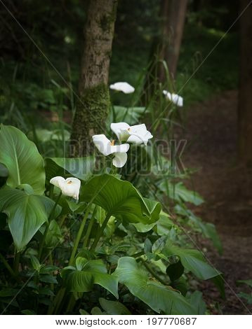 White Calla Lilies Blooming In The Forest