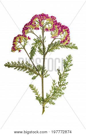 Pressed and dried yarrow stalk with carved green leaves. Isolated on white background. For use in scrapbooking floristry (oshibana) or herbarium.