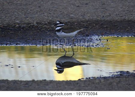 reflection of a killdeer in a rain puddle