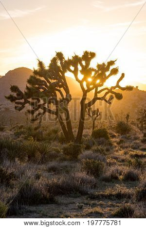 Low Angle Of Late Afternoon Sun Through Joshua Tree