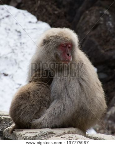 Close up of a drowsy snow monkey mother cuddling her baby. The Japanese macaques are sitting in front of snow. poster