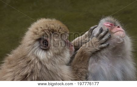 Close up of one snow monkey grooming another Japanese macaque and searching for bugs in the fur.